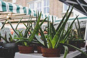 仙人掌, 蘆薈, 推薦, 客廳, 種植, 睡房, 室內